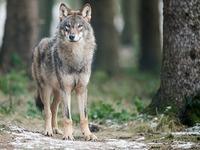 Museen bekunden Interesse an totem Wolf