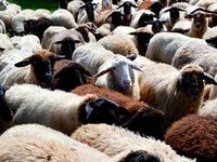 Spektakuläres Drohnenvideo: 1500 Schafe überqueren Falknis