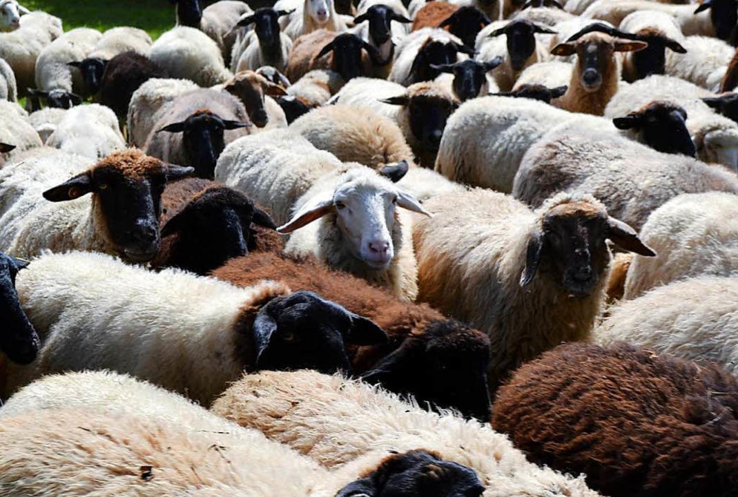 Eine der größten Schafherden der Schweiz hat den Falknis überquert. (Symbolfoto)  | Foto: dpa