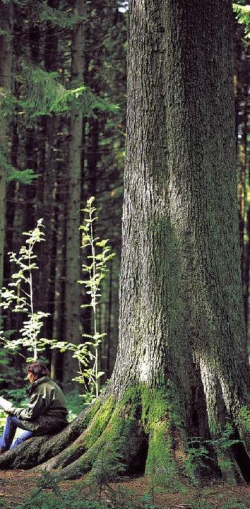 Was den Anteil der Weißtanne anbetriff...ßtanne zu den größten Bäumen Europas.   | Foto: Claudia Füssler/dpa