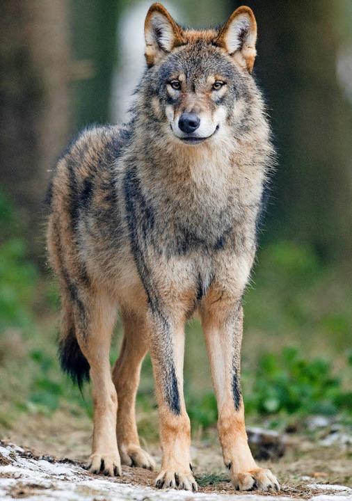 Dieser Wolf lebt in einem Wildpark in ...len. Wegen ihm gibt es keinen Debatte.  | Foto: dpa
