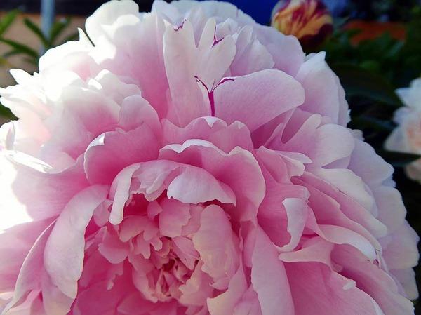 Inge Wenk: Die wunderschöne Pfingstrose blühte im Mai dieses Jahres im Ecomusée, Elsass.