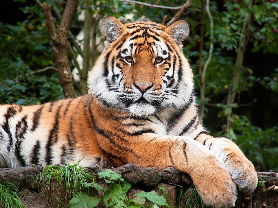 Sieben Tiger und vier Löwen sollen in ...ktar Fläche Platz finden. (Symbolbild)  | Foto: dpa