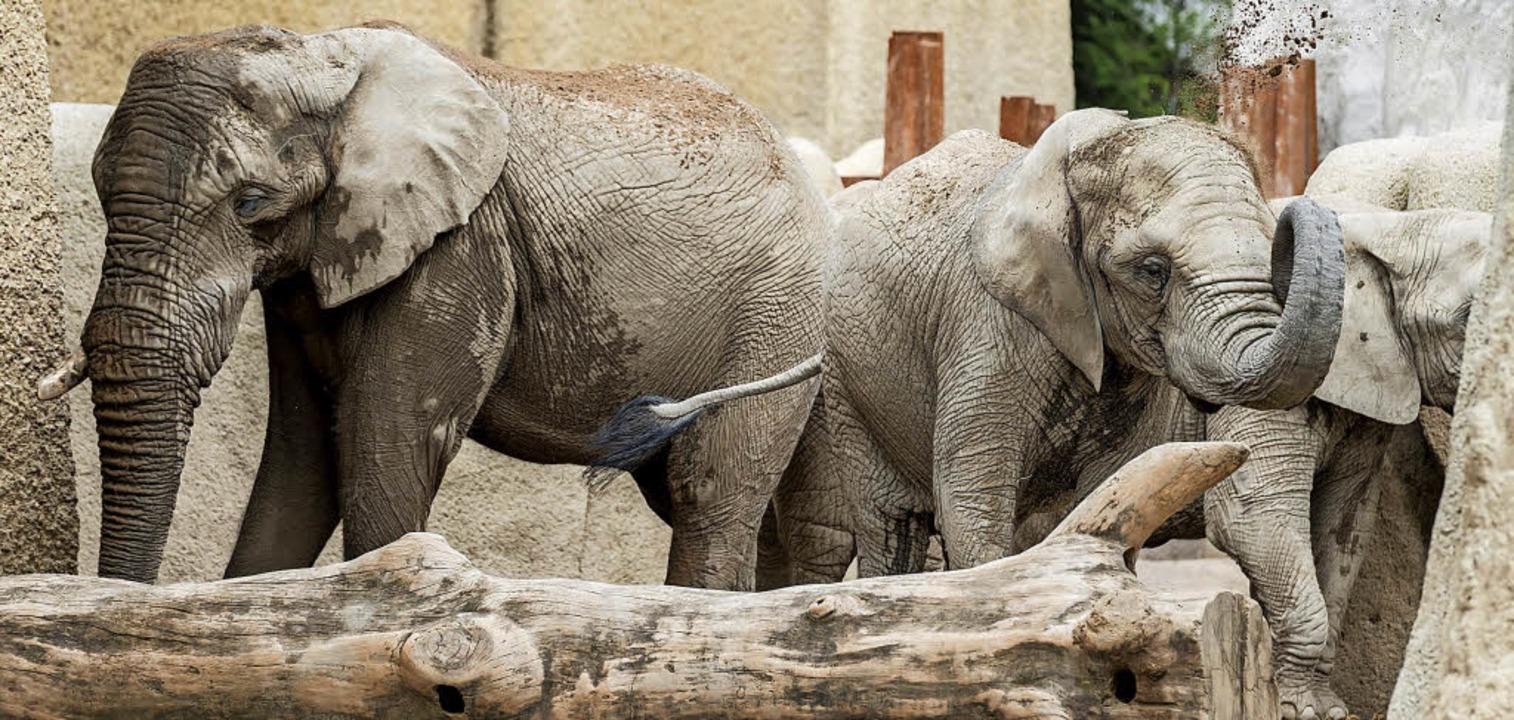 Elefantenbulle Jack (links) soll dereinst für Nachwuchs sorgen im Basler Zoo.   | Foto: Torben Weber (Zoo Basel)