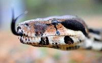 Tierschützer fangen zwei Meter lange Schlange in Kehl