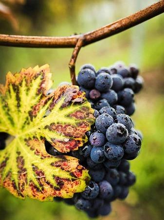 Pinot (Sulzburg-Laufen)