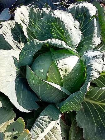Heute noch ein schön gewachsenes Weisskraut, bald aber duftendes Sauerkraut (Belchen)