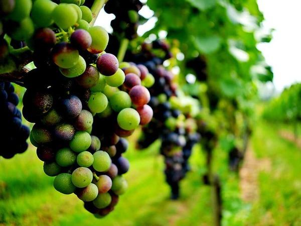 Badischer Wein (Buchholz)