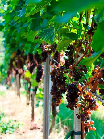 Von der Traube zum Wein (bei Waldkirch)