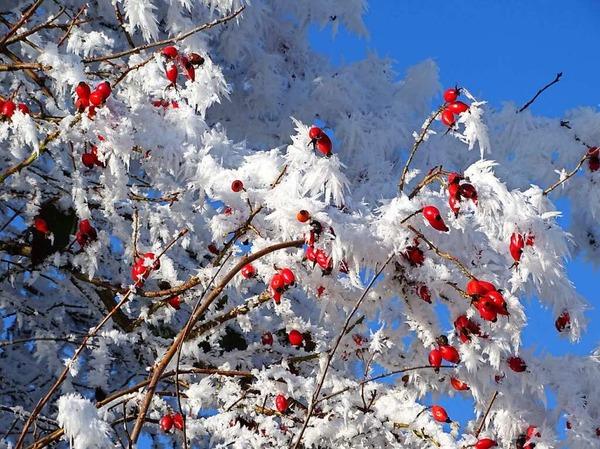 Rot-Weiss-Blau. Hagebutten am Neujahrstag (Heuweiler)