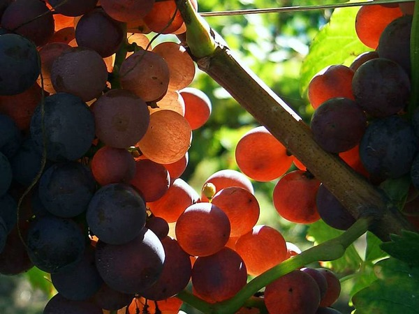 Traubenblut mach frohen Mut (Lahr)