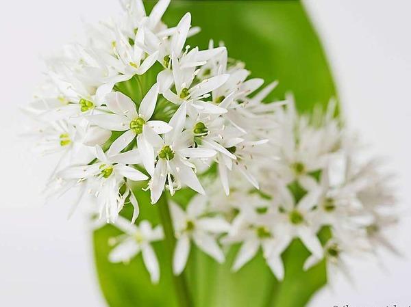 Bärlauchblüte (Vörstetten)