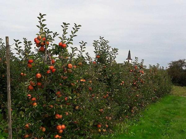 Apfelzauber mit evangelischem Kirchturm Denzlingen
