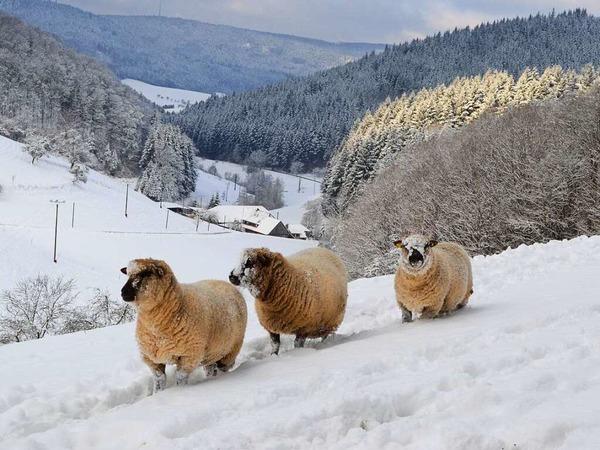 Schafe im tiefverschneiten Durenbach (Schuttertal)