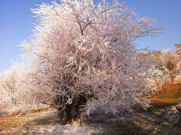 Kirschbaum vom Raureif überdeckt (Herbolzheim)