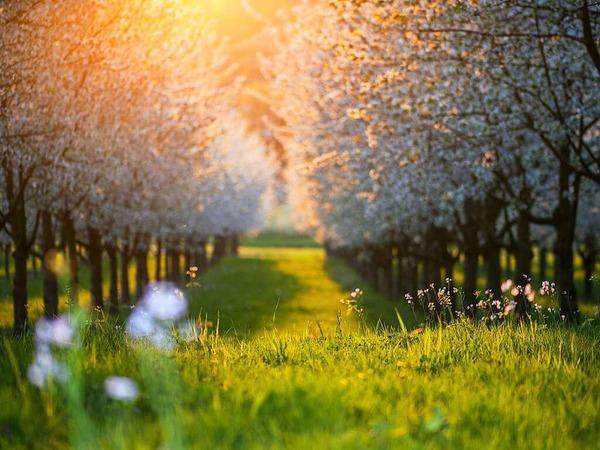 Kirschblütenzauber (Eggenertal)