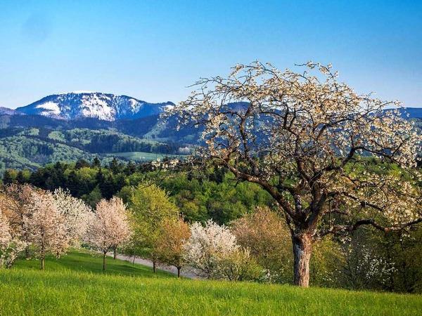Kirschblüte im Tal - Winter am Belchen (Belchen)