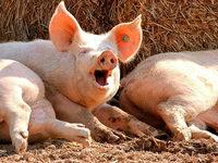 Warum trinken wir keine Milch von Schweinen?