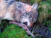 Vergiftete Hunde, erschossene Wölfe - Forensiker sind gefragt