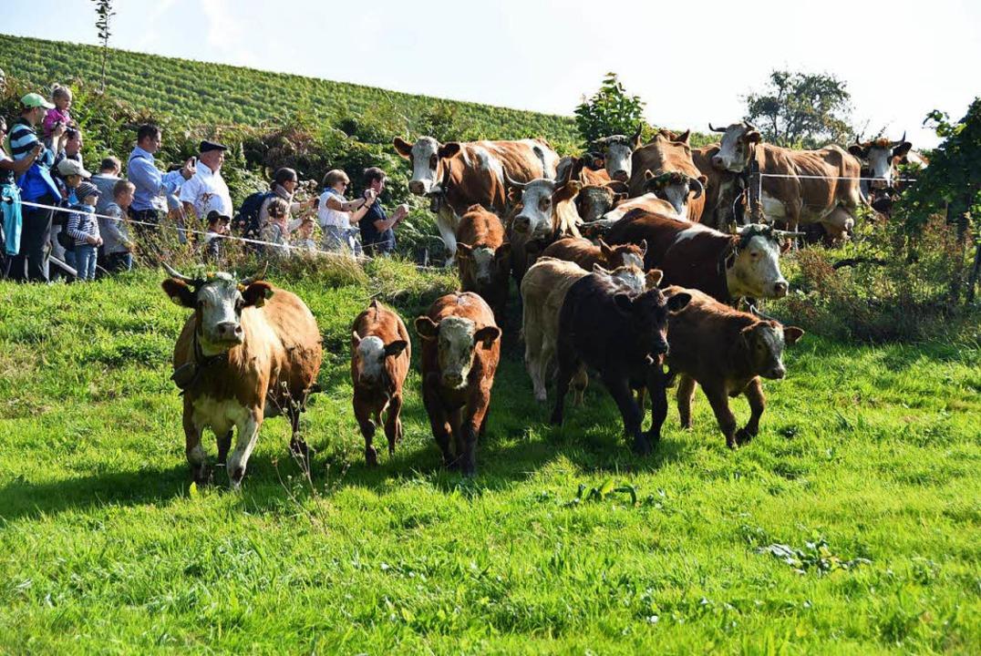 Rund 120 Kühe wurden zuvor unter den Augen der Zuschauer ins Tal getrieben.  | Foto: Max Schuler