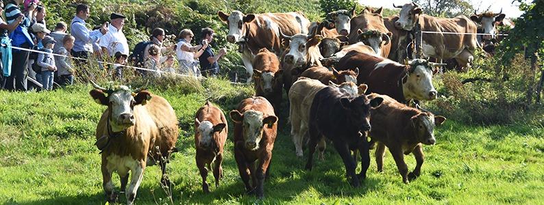 Tierärztin erklärt, was die Kuh beim Almabtrieb in Panik versetzt haben könnte