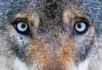 Elektronetze sollen vor Wölfen schützen