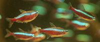 Rot-blau im Aquarium