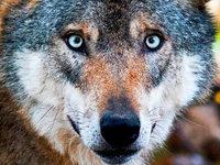 Ist eine Britin von Wölfen zerfleischt worden?