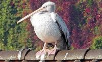RHEINGEFLÜSTER: Ein Pelikan auf Abwegen