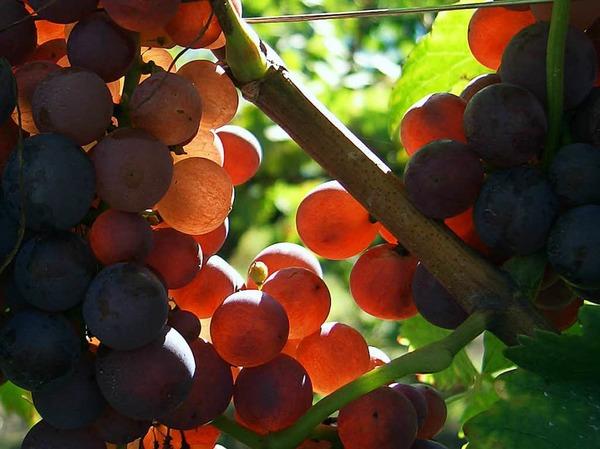 Kategorie Food: Traubenblut mach frohen Mut (Lahr)
