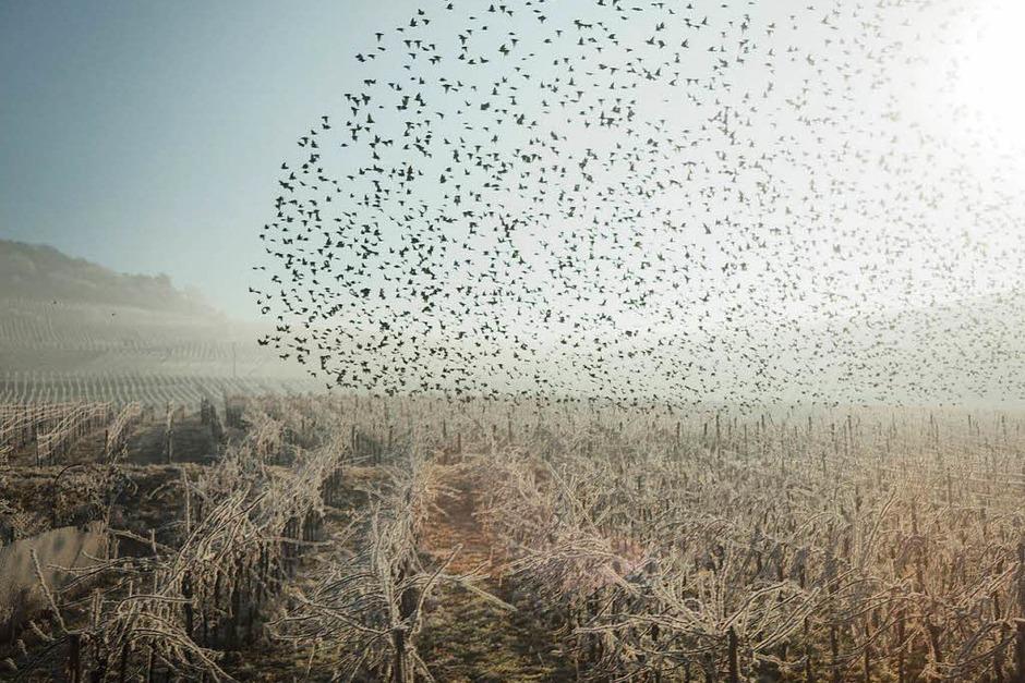 Siegerfoto in der Kategorie Land: Blick aus dem ICE – Surreale Weinberge mit Vogelschwarm am Neujahrstag 2017 (Bad Bellingen) von Damian Wagner (Foto: Damian Wagner)