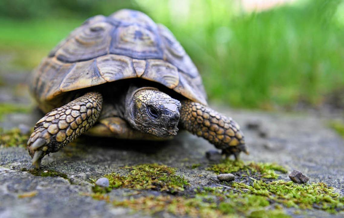 Schildkröte macht einen Spaziergang.   | Foto: dpa