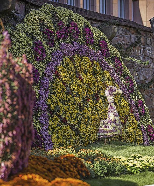 Ein leuchtender Chrysanthemen-Pfau  | Foto: Michael Bode