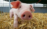 Schweinerei vor Gericht