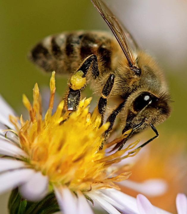 Eine Biene sammelt Pollen auf einer Blüte.     Foto: dpa