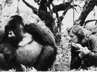 Vor 50 Jahren begann Fosseys Forschung über die Berggorillas