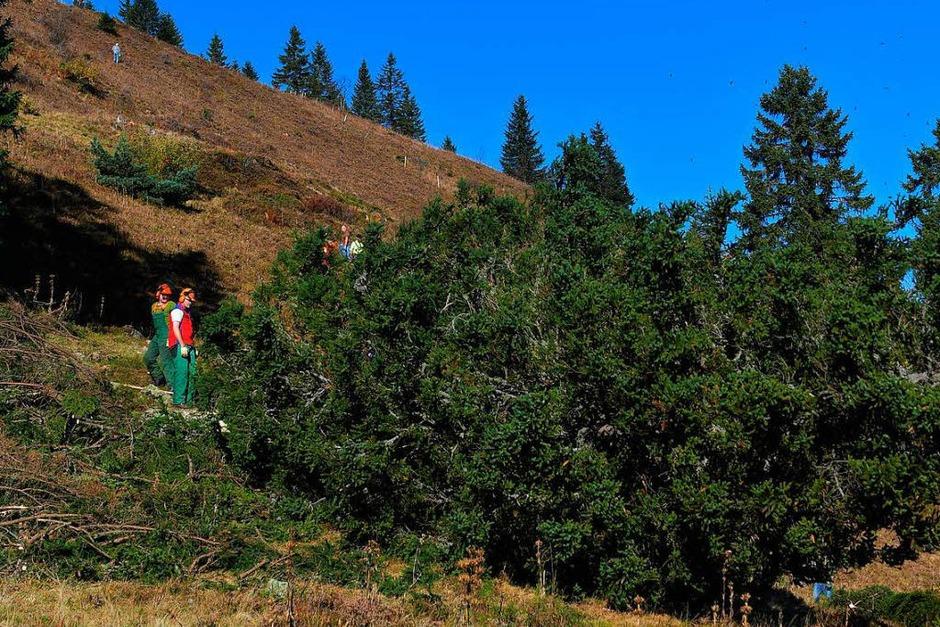 """""""Baum fällt"""" - neben vielen Helfern für die Handarbeit waren auch Forstprofis im Einsatz. Der Abtransport der großen Stämme erfolgte flächenschonend durch zwei Ardenner Rückepferde von Jürgen Duddek aus March. (Foto: Wolfgang Scheu)"""