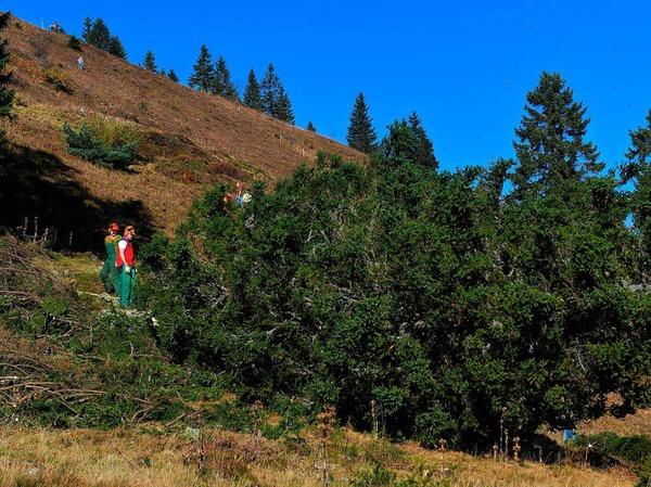 """""""Baum fällt"""" - neben vielen Helfern für die Handarbeit waren auch Forstprofis im Einsatz. Der Abtransport der großen Stämme erfolgte flächenschonend durch zwei Ardenner Rückepferde von Jürgen Duddek aus March."""