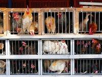 Mobiler Geflügelverkauf bietet lebenden Hühner an