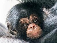Im Basler Zoo werden die kognitiven Fähigkeiten von Menschenaffen untersucht