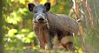 Auf der Suche nach Strategien gegen die Wildschweine