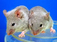 US-Forscher haben untersucht, ob Fastfood Nagetiere verändert