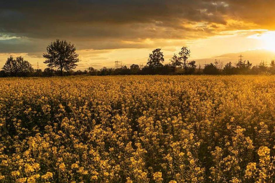 Die  Felder bei Nonnenweier im schönsten Sonnenuntergangslicht. (Foto: Michael Sauer)