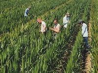 Mais: Heitersheim produziert Saatgut für ganz Europa