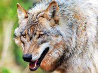 Wolf reißt Schafe im Südwesten - erster Nachweis seit 100 Jahren