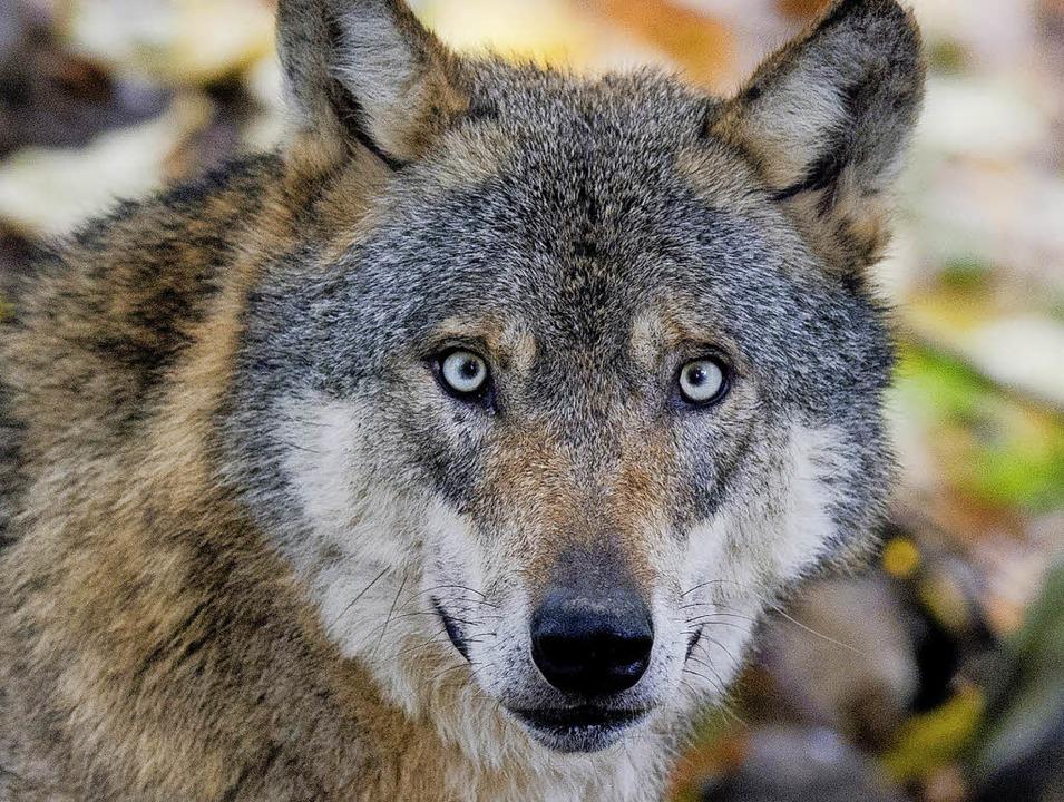 Auge in Auge: Wolf im Wildgehege  | Foto: dpa