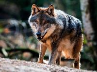Nicht Hund, nicht Wolf: Sechs Mischlingen droht der Tod