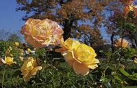 Rosenduft liegt in der Luft – noch