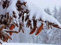 Warum verlieren Nadelbäume im Herbst nicht ihre Nadeln?