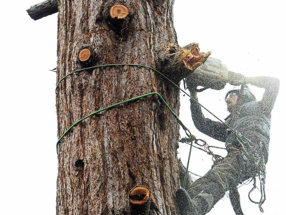 Ein Baumpfleger bei Fällarbeiten (Archivbild)    Foto: Ingo Schneider